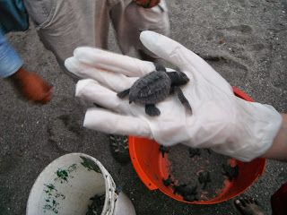 Las Penitas Nicaragua and 1 day old turtles - Exploramum & Explorason