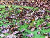 #tuinliefhebbers: Bladeren op je grasmat en waarom je ze het beste kunt verwijderen - wees zuinig op je grasmat  #tuintip #tuinieren #tuin  http://tuinhappy.nl/bladeren-op-gras/