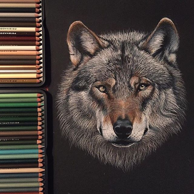 ❤️ Wolf Prismacolor pencils on black paper by @colors_of_the_wild