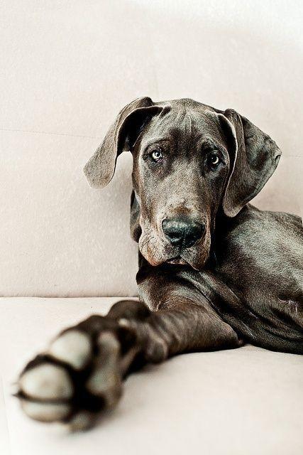 Blue Great Dane | Dog Love | Pinterest