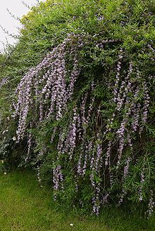 Buddleja alternifolia A.jpg Very fragrant, weeping effect Reaches 16 ft. if not trimmed fountain butterfly bush