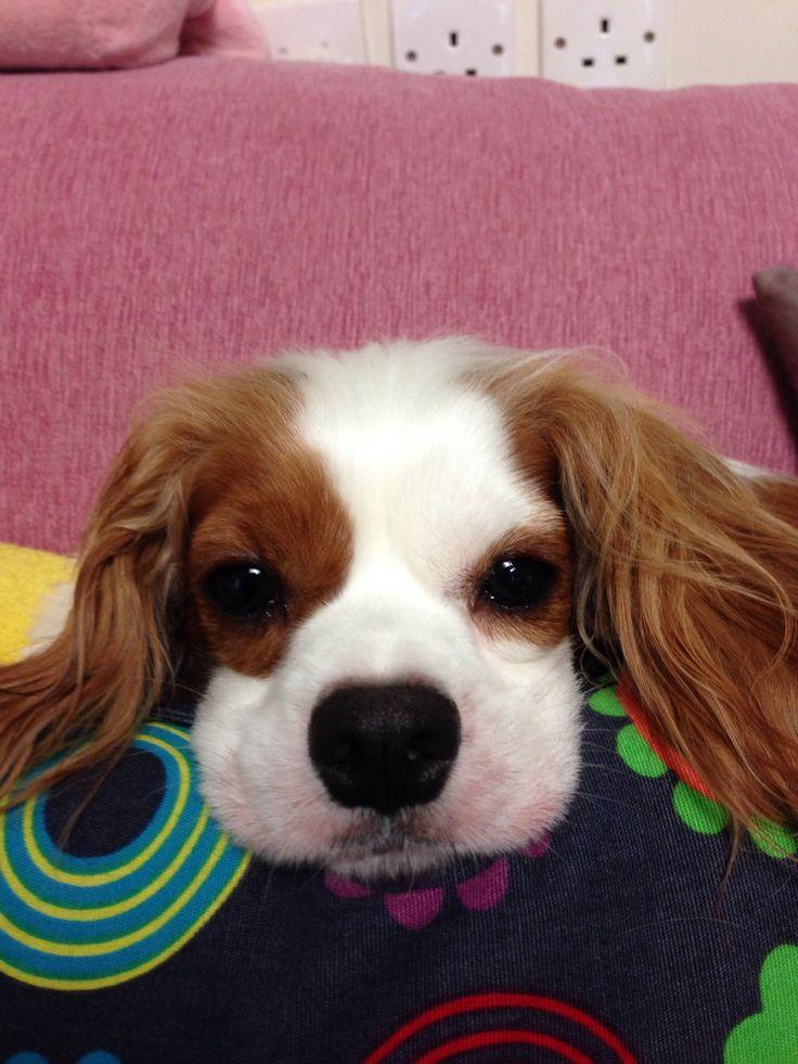 Luzy #kingcharlesspaniel #dogs #animals #pets #cute #love