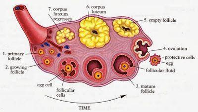 Notiuni despre ovar (glanda sexuala feminina)