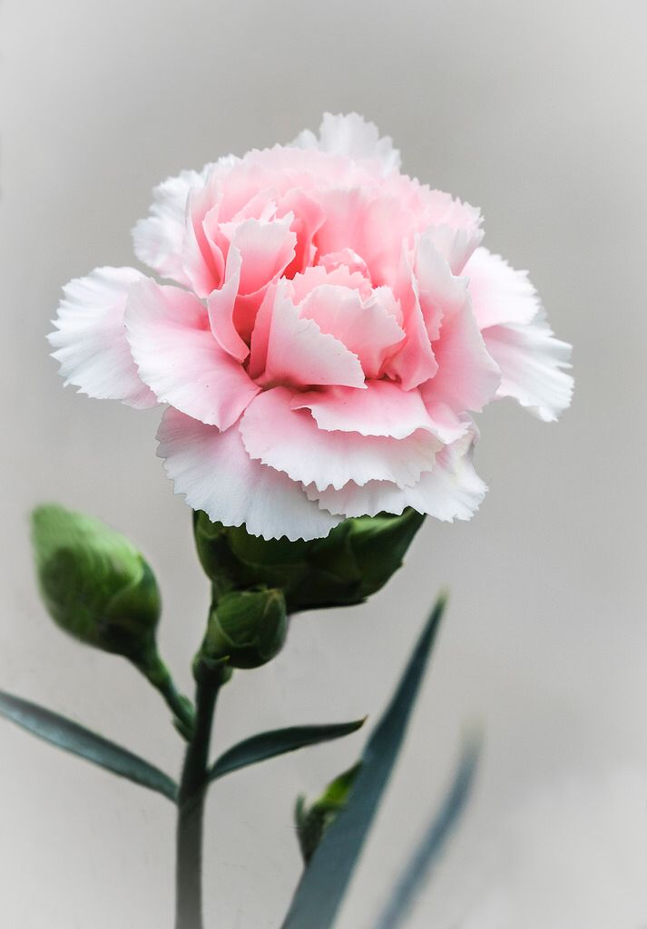 Pink Carnation I Will Never Forget You Pink Carnations Carnation Flower Pretty Flowers