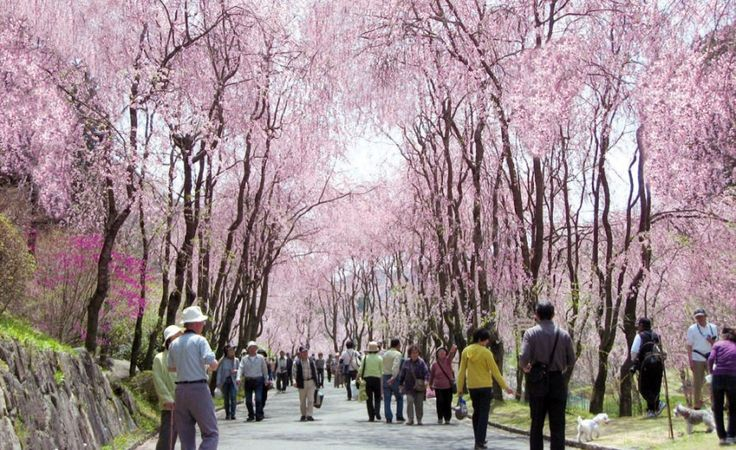 Cherry Blossom Festival 2015 - Featuring 250 Weeping Cherry Trees!