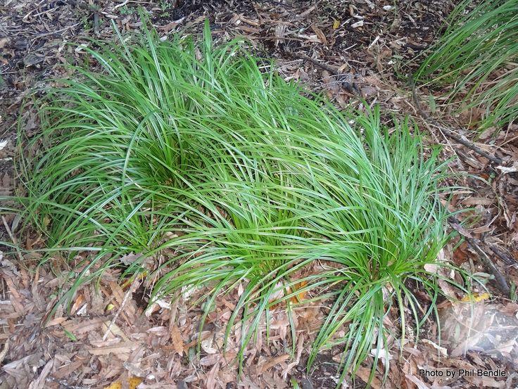 Carex_lambertiana__Forest_sedge_.JPG (1200×902)