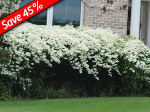 Clematis paniculata welcomes fall with thousands of sweet scented autumn blooms