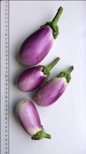 Aubergines kweken
