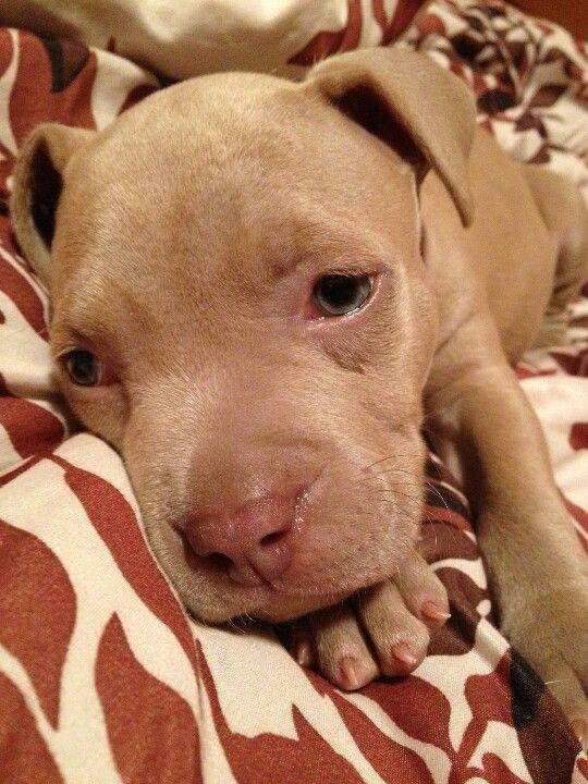 My sweet Sweet pit bull puppy
