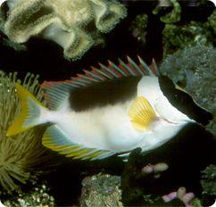 Silver Foxface Rabbitfish, Magnificnet Rabbitfish - Siganus magnificus