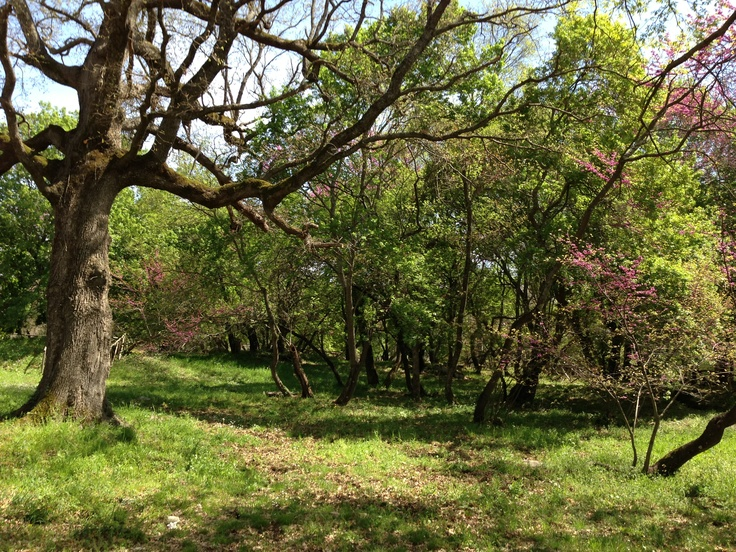 Aprile: fioritura dei Sicomori