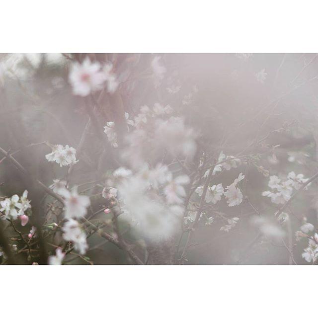 【abara_bob0】さんのInstagramをピンしています。 《【全ての終わりに愛があるなら】  Lyrics by #宇多田ヒカル / #桜流し  紅葉にはまだ早いけど実は十月に咲く桜もありまして。  #秋 #十月桜 #Sakura #桜 #写真撮ってる人と繋がりたい #カメラ好きな人と繋がりたい #instantcamera #autumn #nostalgia #flower #kissx7 #canon  #前ボケ》