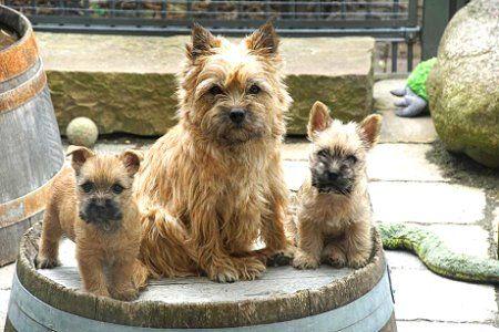 Herzlich Willkommen In Unserem Harmony S Clan Harmonys Cairn Terrier Cairn Terrier Terrier Tierbilder
