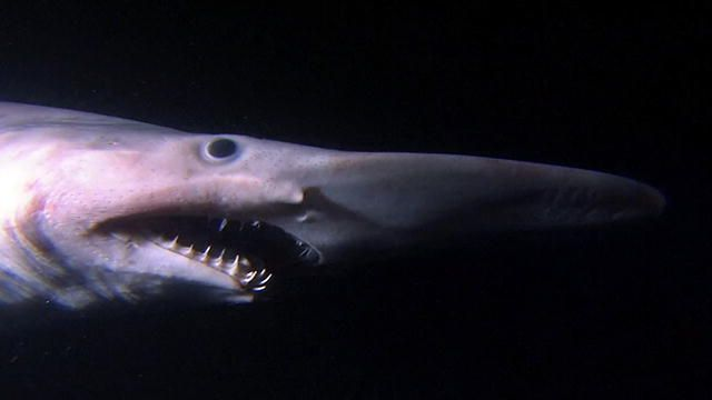 """The goblin shark, discovered in the late 19th century, was named for its """"creepy"""" appearance. Its long, flat snout works like a metal detector."""