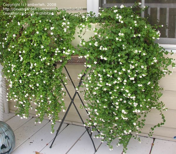 """Bacopa Bridal Veil White - Sutera cordata - 6""""H x 15""""W, sun to partial shade, don't let soil dry out, creeping perennial, groundcover or trail out of pots, planted 5/2011"""