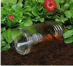 beer slug trap- I will not let these suckers get my strawberries this year! Use stale beer or a mixture of yeast and honey as bait.