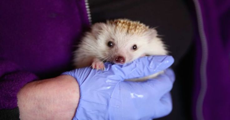 Woman Rescues Injured Hedgehog In Her Backyard. Now She Has Hundreds Of Them Living In Her House!