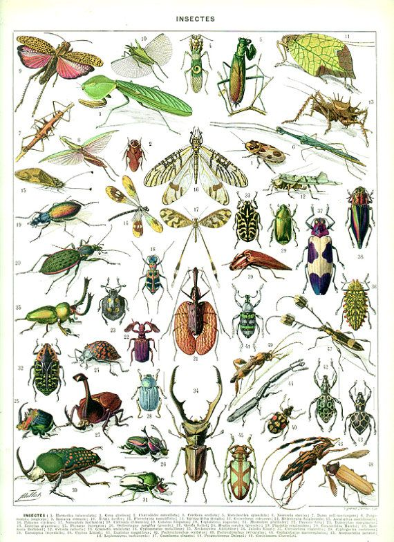 Insektendruck 1936 Weinlese-Weinlese-Insektenkunst Antike Insektenillustrations-Wanzendekor-Insektendekor Weinlese-Wanzenillustration