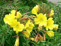 Leacuri din batrani: Luminita Noptii  ( Oenothera biennis ) - partea I