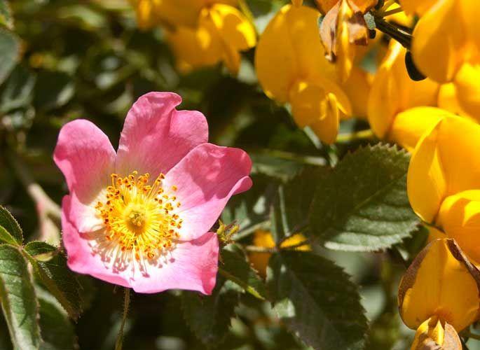 la rosa mosqueta,