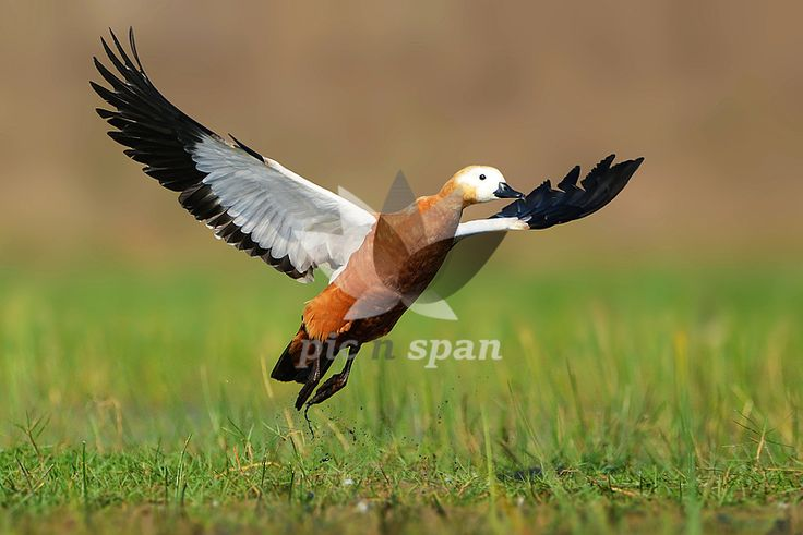 Royalty free stock photo, image | Take off moment - Ruddy shelduck