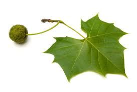 Image result for sycamore tree image