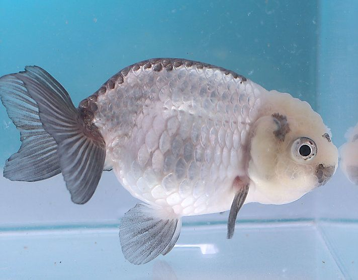 East Coast Ranchu Is A Ranchu Oranda Goldfish Online Store These Goldfish Are Bred In The Us From High End Thai Chines Goldfish Oranda Goldfish East Coast