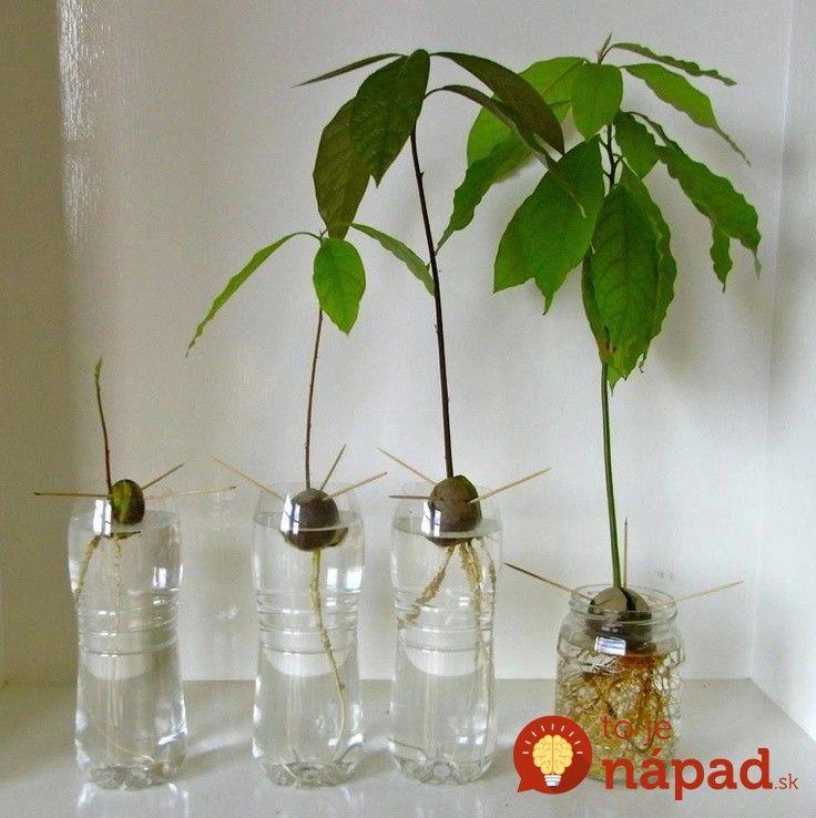 Vypestujte si doma atraktívnu a žiadanú izbovú rastlinu. Zvládne to skutočne každý!