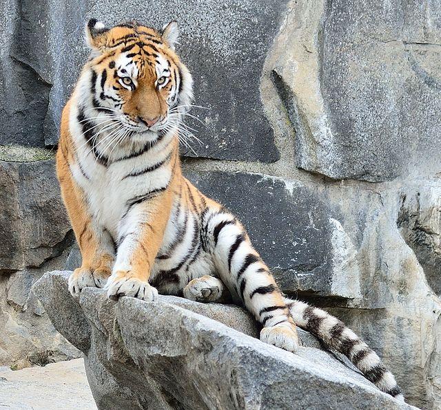Tigre siberiana (Panthera tigris altaica) - Tierpark Berlin by Massimo Greco _Foligno on Flickr.