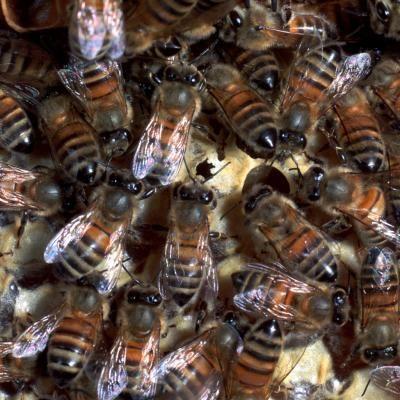 Cómo atraer un enjambre de abejas | eHow en Español