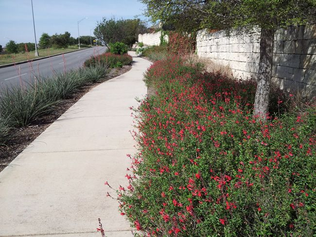 red yucca and autumn sage step in to provide a tough Texas-sized groundcover in an inferno strip - Updating the Midcentury Modern Lawn - Garden Style San Antonio