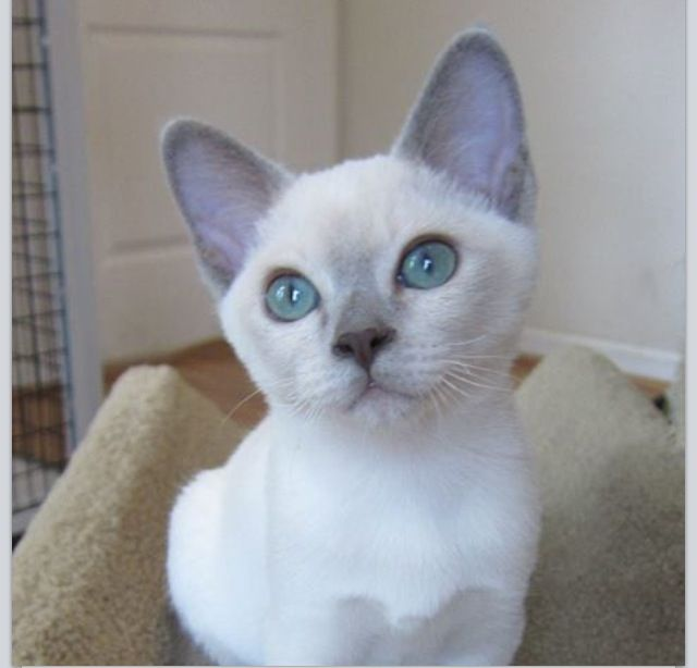 Platinum Mink Tonkinese kitten | Apparently, they're better in pairs because they're very energetic, sociable, and easily prone to boredom and loneliness, which is why I'd get him a playmate that looks like the Natural Tonk over there -->