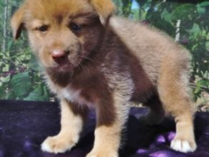 Pine Ridge Pomskies - Pomsky Puppies For Sale 727-485-5562 http://pineridgepomskies.com tags: Pine Ridge Pomskies, Pomskies, Pomsky, Breeders, Siberian Husky, Pomeranian, Hybrid, F1, Full Grown, Price, Information, Breeders, Adoption, Real, How Much For Pomskies, Alaskan Klee Kai, How Big Do Pomskies Get, How Much Are Pomskies, Apex, Training, Breed, Puppy, Puppies, Dogs
