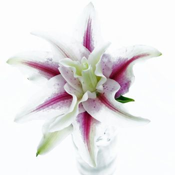 OMG ... Double bloom oriental Lily... I SO WANT THESE!!