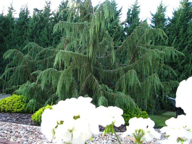 Juniperus Horstmann.