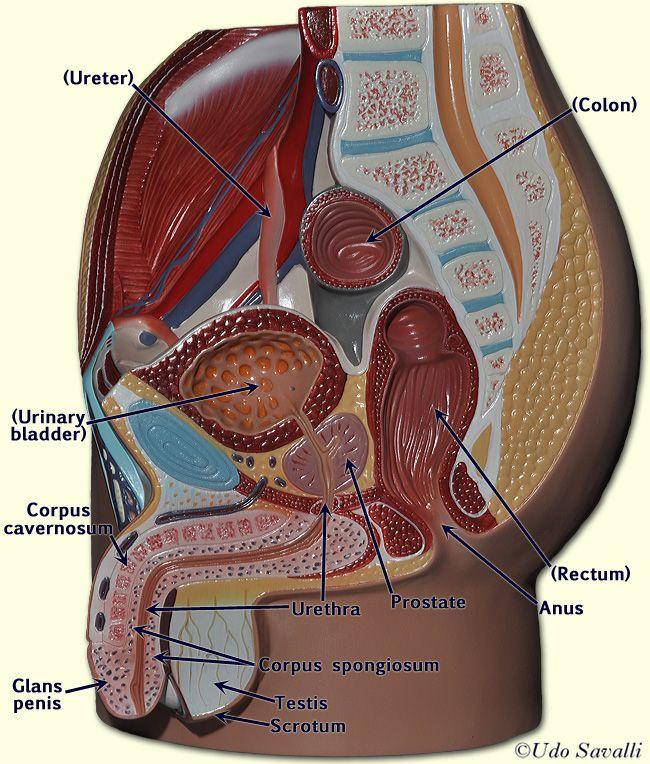 pelvis diagram male pelvis diagram male pelvis | a&p.6.continuity | pinterest
