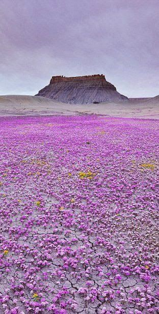Utah:It's a magic carpet of purple wildflowers in Mojave desert