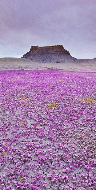 It's a magic carpet of purple wildflowers in Mojave desert, Utah.