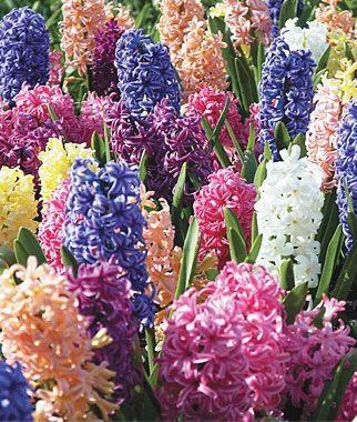 Mix Hyacinth Bulbs, Flower Bulbs at Burpee.com