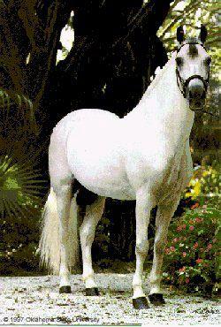 Paso Fino horse. Apparently I'm on a huge horse kick tonight.