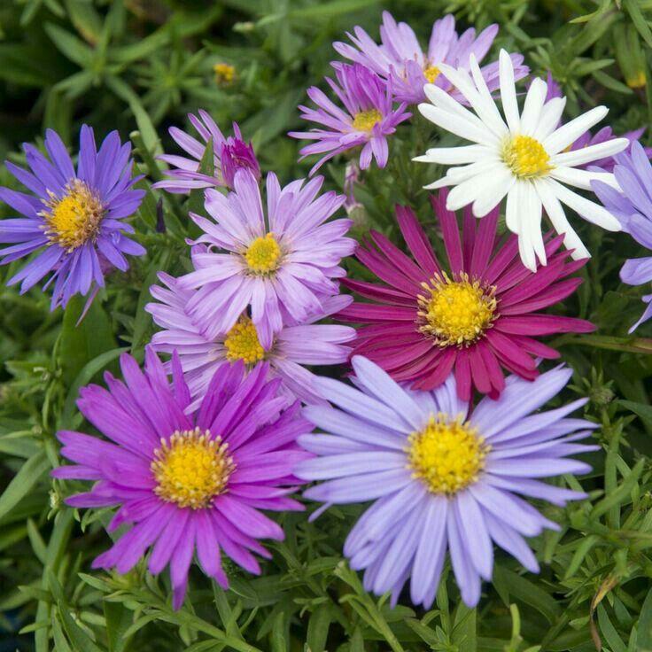 Pin By Rattana Chaichana On ดอกไม Aster Flower West Facing Garden Birth Flowers