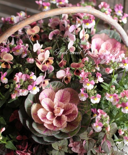 <i>Brassica</i><BR><BR>アンティークカラー!<BR>葉牡丹『あかね』<BR>葉脈ローズ色! | すべての商品 | | Junk sweet Garden tef*tef* ガーデニング雑貨・花苗
