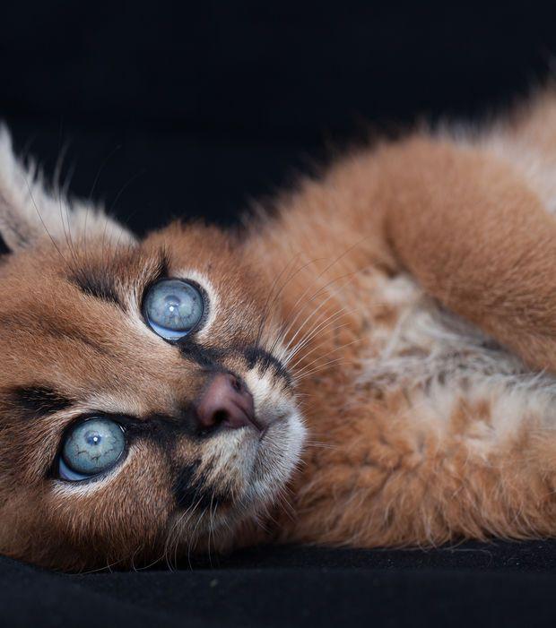 Photo extraite de Le caracal, une espèce d'une beauté rare (15 photos)