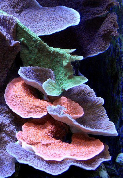 I'd Like to Avoid a Montipora War... - Reef Central Online Community