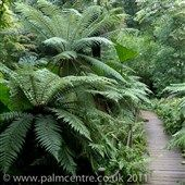 Dicksonia antarctica (tree ferns)