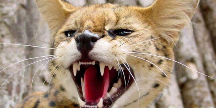 Kot savannah – krzyżówka kota i serwala