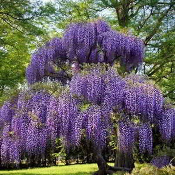 10 Organic Royal Purple Japanese Wisteria Seeds Fragrant Ornamental Flowers Wisteria Tree Purple Wisteria Wisteria Plant