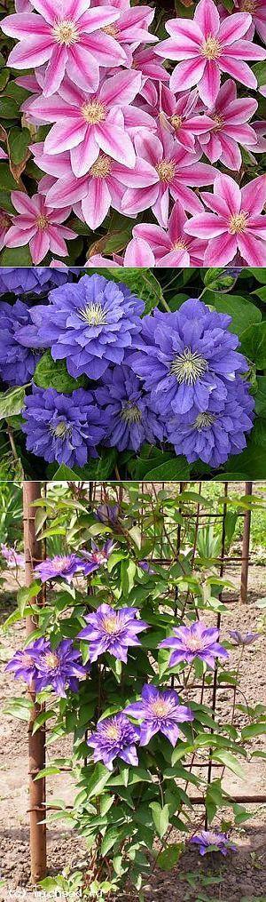 Заблуждения и реальность при выращивании клематисов | Дача - впрок | цветы | Постила