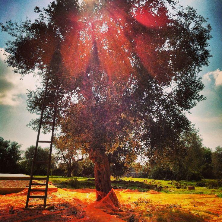 Stairway to Heaven. #olive #olio #oil #food #madeinItaly #extravergine