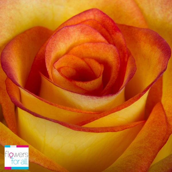 Cheerfulness and friendship are the messages the bicolor yellow roses from Flowersforall.com convey.